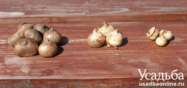 Луковицы крокусов могут быть разными по размеру