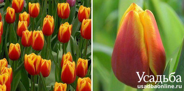 Тюльпан Luba