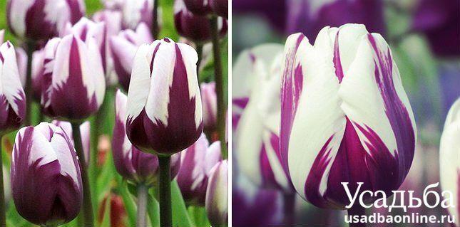 Тюльпан Rems Favourite