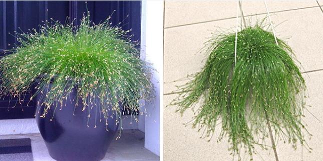 Сцирпус можно выращивать как в горшке, так и в подвесном кашпо