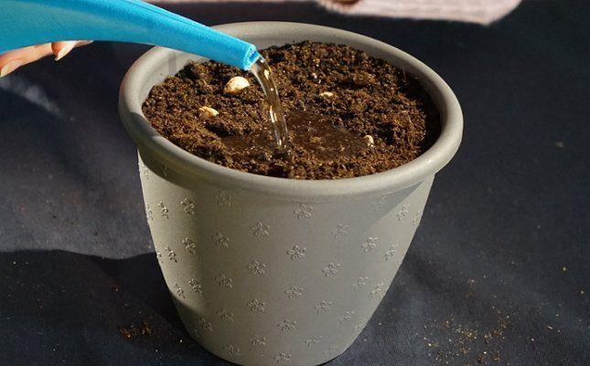 Полив луковиц тюльпанов