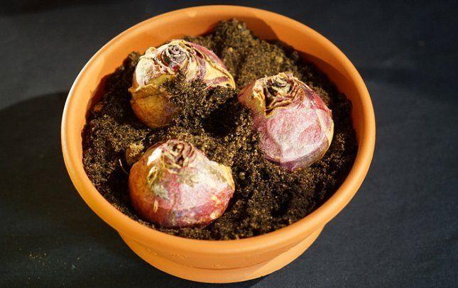 Посаженные луковицы гиацинтов