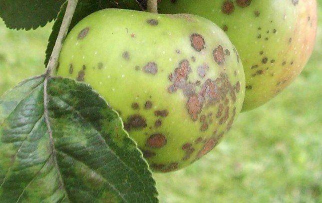 Пораженные паршой плоды можно есть, но на рынок их уже не повезешь