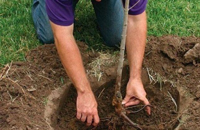 Произвести пересадку взрослого дерева не очень просто