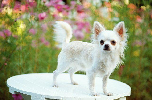 Белая маленькая собачка фото