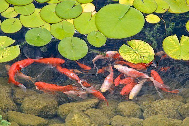 Не торопитесь запускать рыбок в новый пруд