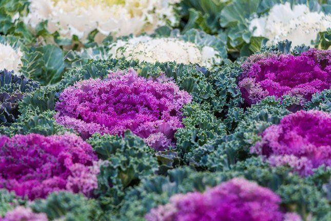 Весной перезимовавшие маточные растения высаживают в грунт