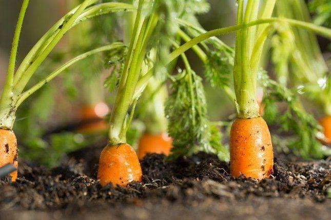 Оранжевые овощи содержат каротиноиды