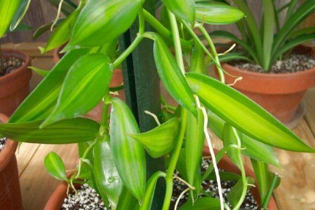 Ванильная орхидея - не слишком прихотливое растение, вот только добиться от него цветения очень сложно