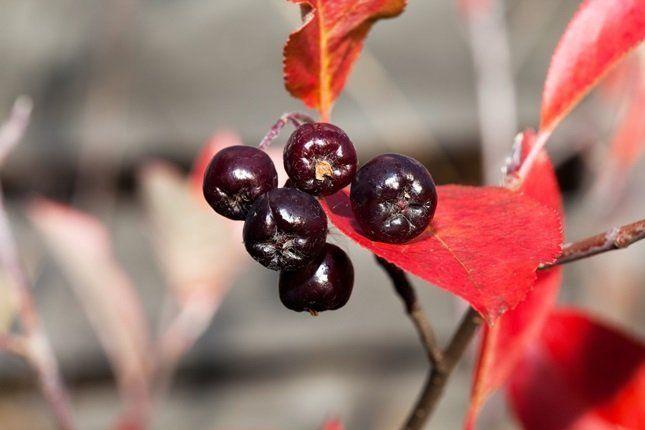 Чтобы ягоды хранились дольше, собирать их нужно не раньше, чем наступят первые холода