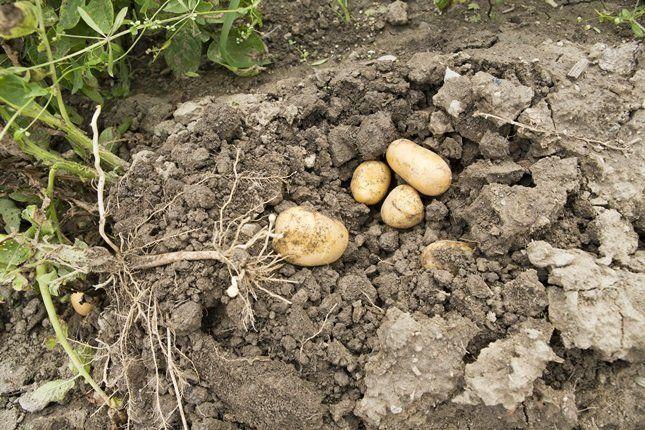 Начинают уборку картофеля после отмирания ботвы