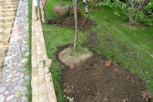 Дерево перемещают на новое место очень аккуратно