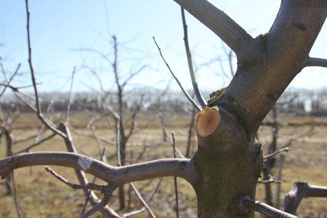 Правильная обрезка дерева