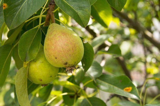 Осенние плоды считаются самыми вкусными и поэтому их чаще всего употребляют в свежем виде