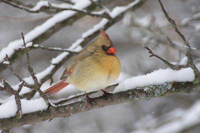 Зимостойкие сорта способны перенести зиму без особых потерь