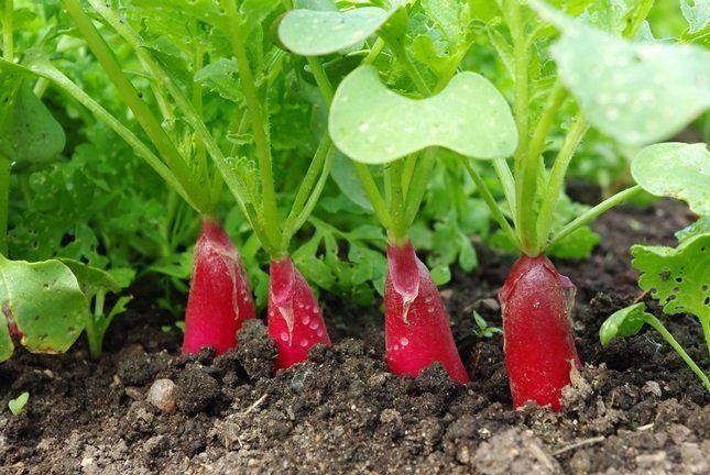 Применение золы не только удобрит почву, но и защитит всходы редиса от вредителей