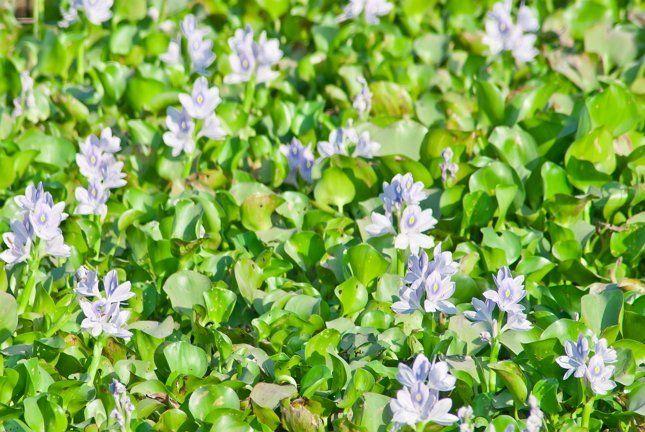 Водяной гиацинт стоит выращивать из-за его нежного цветения