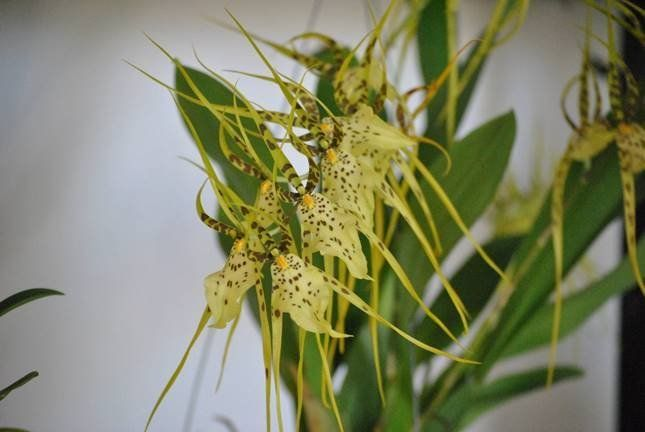 Несмотря на экзотический внешний вид, брассия совершенно неприхотлива к условиям выращивания