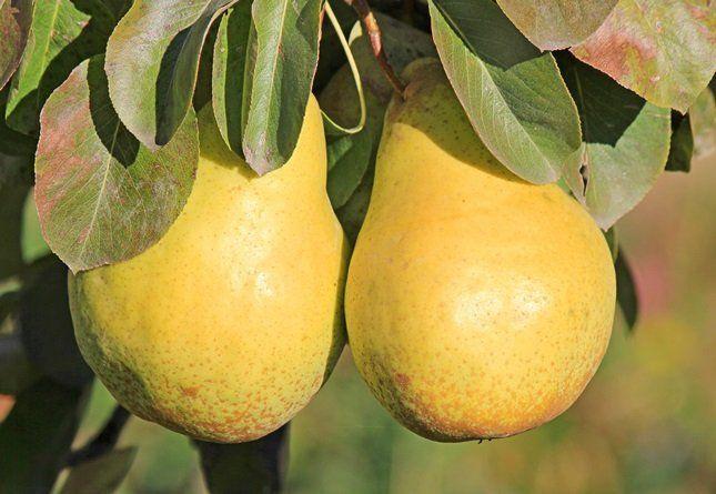Крупноплодные груши, как правило, обладают отличным вкусом