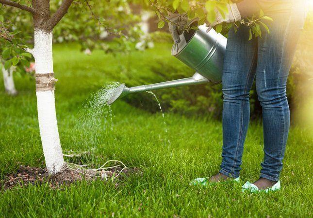 Нужно особенно внимательно относиться к основному внесению удобрений и подкормкам