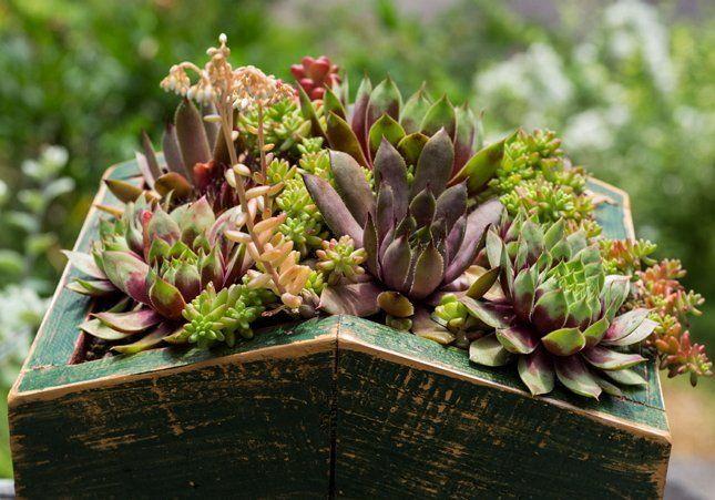 Посадка Молодило и уход за растением зимой и летом