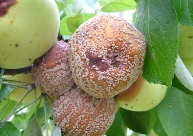 Плодовая гниль заболевание, от которого сложно избавиться