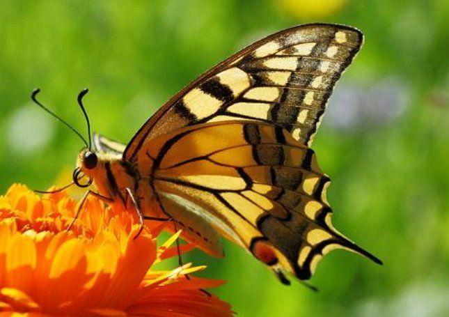 Бабочки в саду – живое украшение участка