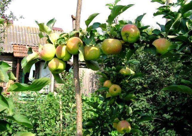Особо урожайные ветви могут просто не выдержать веса плодов и сломаться