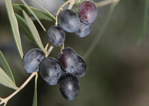 Если правильно ухаживать за оливковым деревом, то в будущем можно дождаться и его плодов