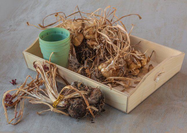 засохшие гиацинты после выгонки