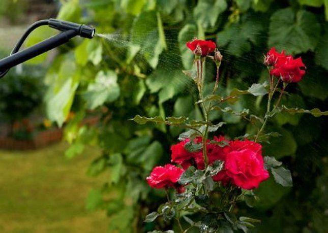 Избавиться от мучнистой росы помогут специальные препараты, растворы или настои