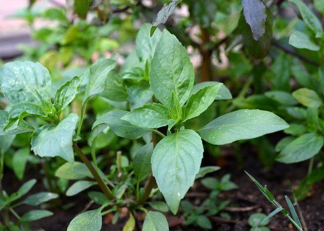 Базилик к середине лета начинает цвести и его листочки теряют аромат