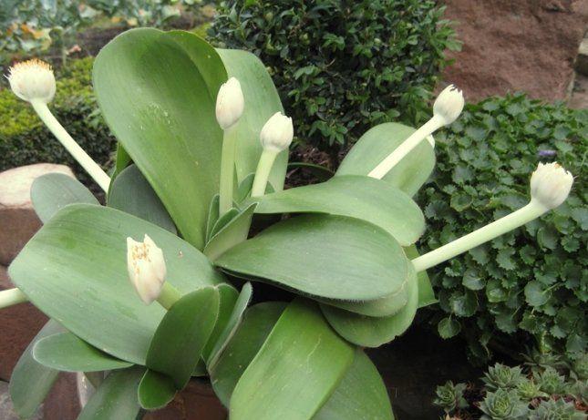 Гемантус белоцветковый предпочтительнее сажать в широкие и неглубокие горшки