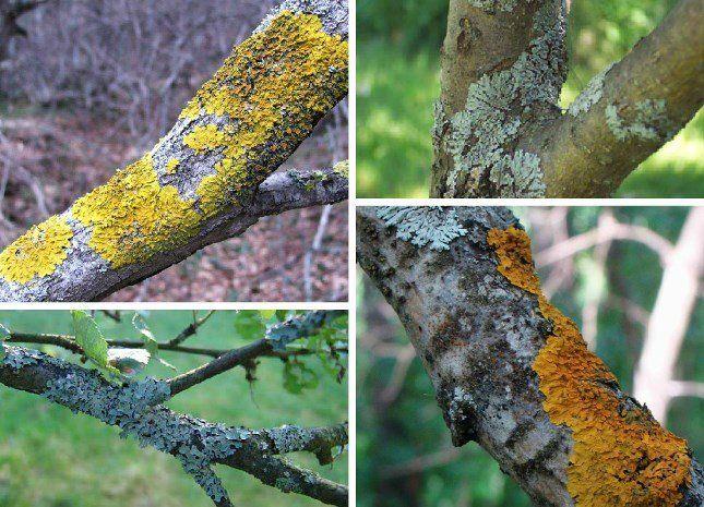Лишайники проявляются в виде розеток, корочек и кустиков различных цветов