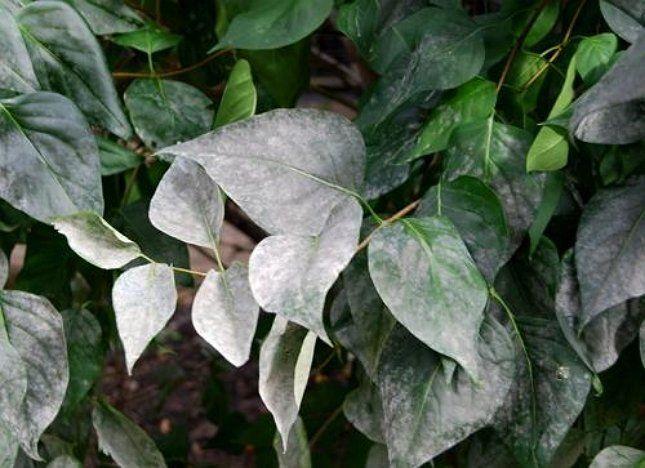 Мучнистая роса на сирени портит декоративный вид растения