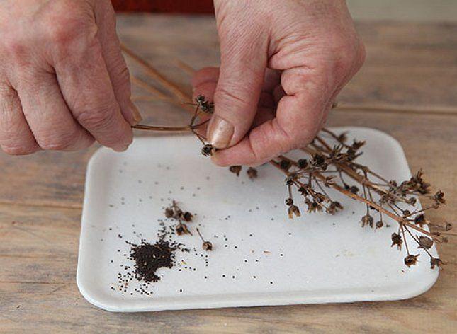 Вытряхивать семена нужно аккуратно, чтобы не растерять посевной материал