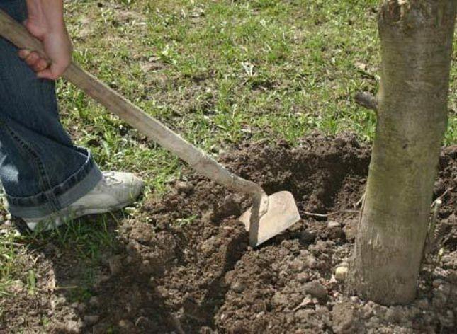 Главное – не повредить крупные корни