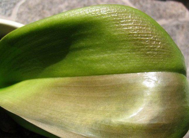 Солнечный или тепловой ожог орхидеи