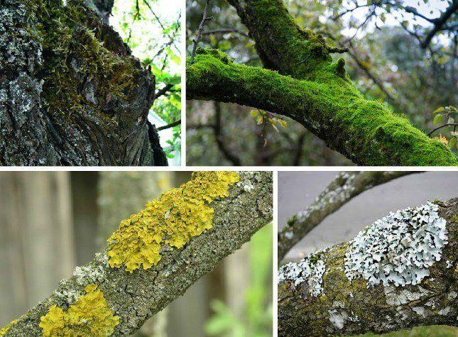 Мхи заселяют деревья и наносят значительный вред растениям