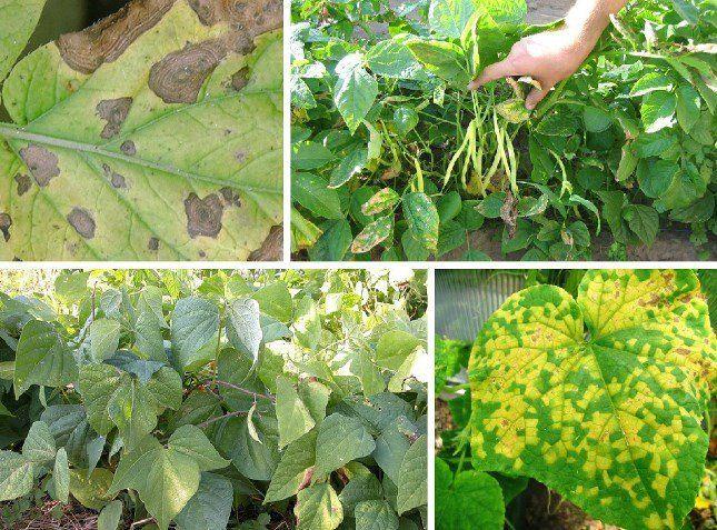 Фасоль чаще всего поражается грибковой, бактериальной и вирусной инфекцией