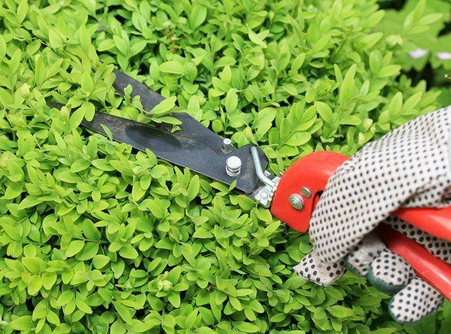 Интенсивность обрезки самшита определяется в зависимости от назначения растения в саду