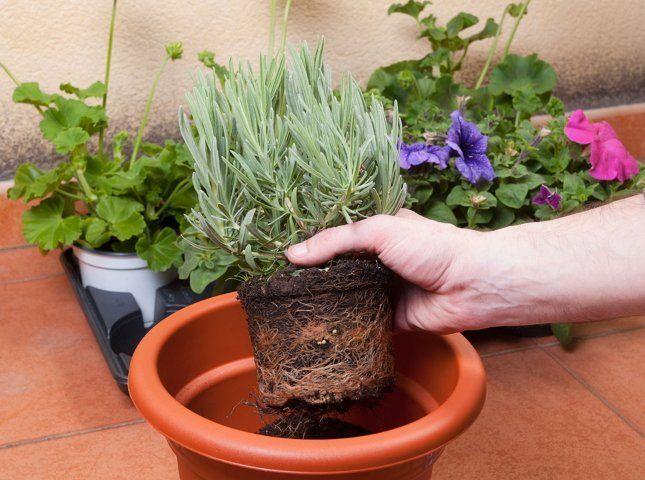 Перевалка – это пересадка растений без разрушения корневого кома