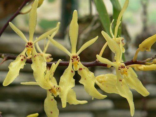 Ранантера цветет очень необычно
