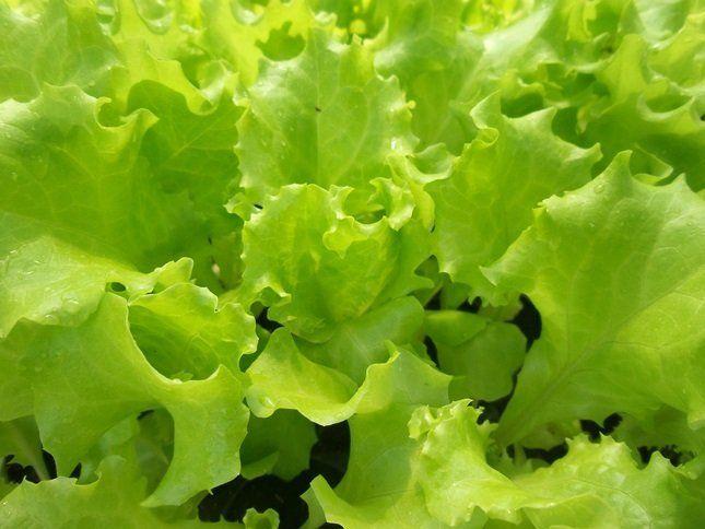 Если салат не проредить, растения получатся с бледными длинными листьями