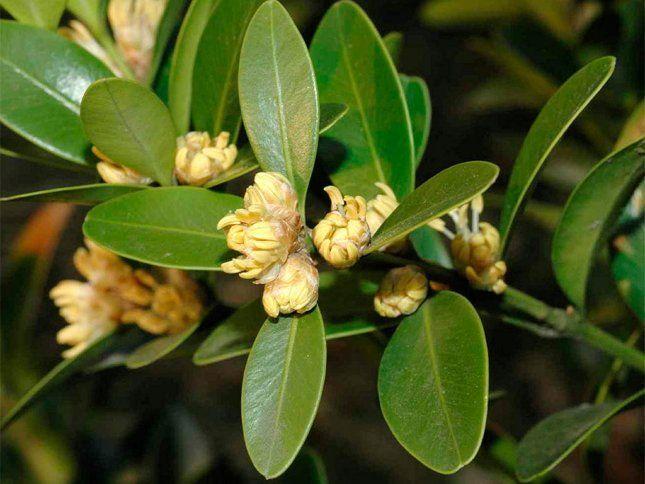 Хотя самшит - растение цветущее, красота его заключается преимущественно в листьях