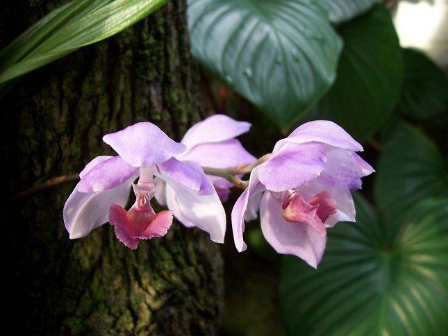 Орхидея привыкла жить в тропиках, поэтому очень сложно адаптируется к комнатным условиям