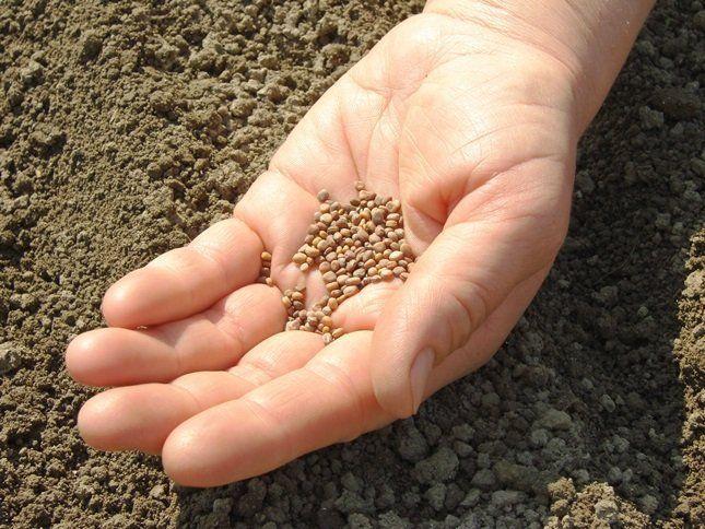 Отбирайте для посева только крупные семена