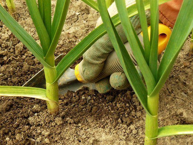 ыкапывайте его лопатой, потому как его луковица находится глубоко в земле