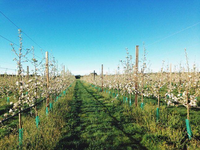Количество плодовых деревьев выбирают исходя из площади и потребностей