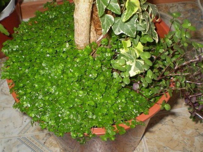 Подсадите солейролию в горшок с одиночным растением, и у вас получится мини-садик